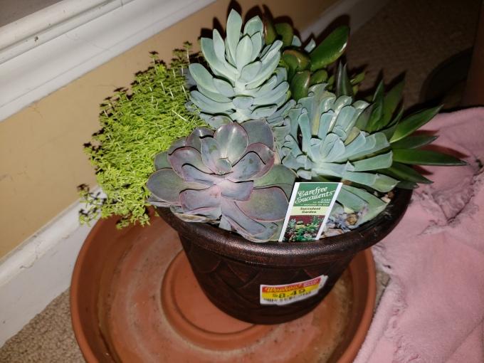 kroger cacti.jpg