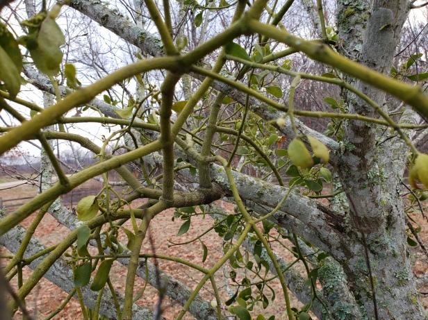 mistletoe up close 3