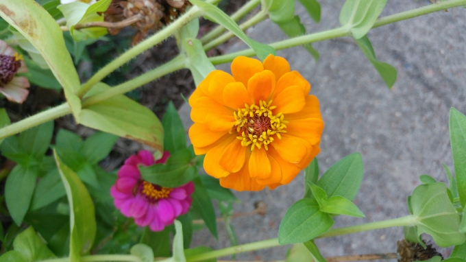 pink and orange zinnias