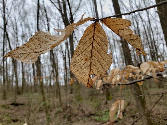 beech palmate leaf 2
