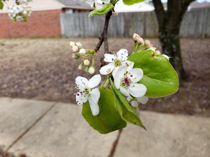 bradford pear flower