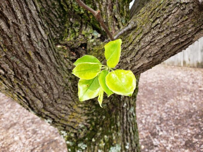 bradford pear leaf