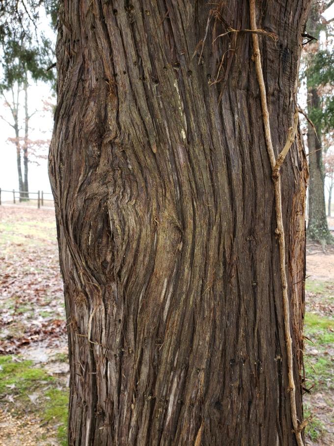 cedar bark 1
