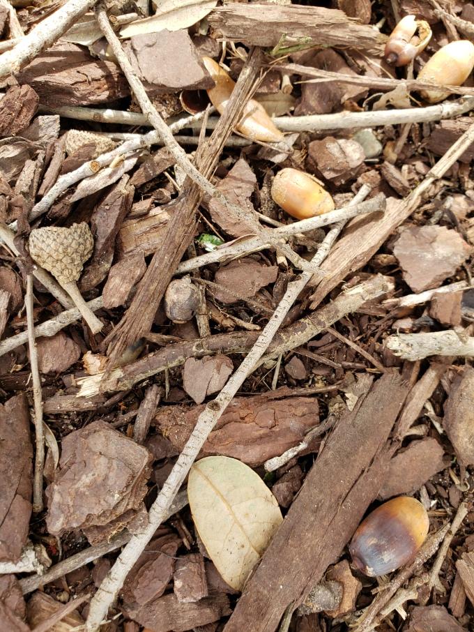 live oak acorns 2