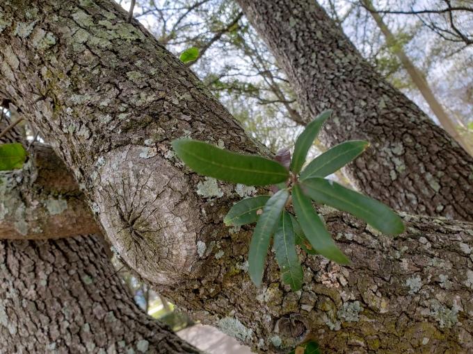 live oak leaf 2