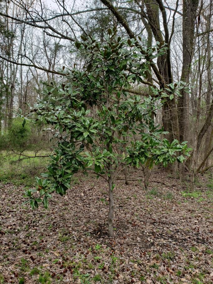 magnolia habitus