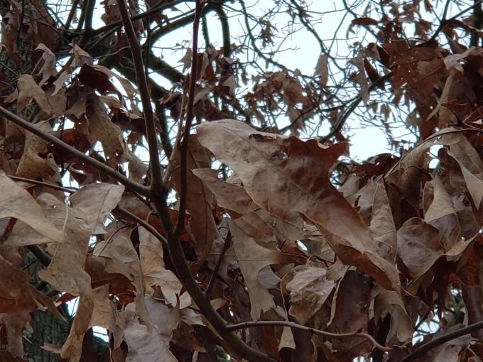 oak 2 leaf 3