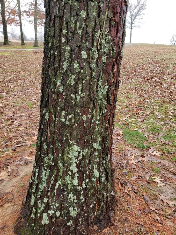 pine 1 bark