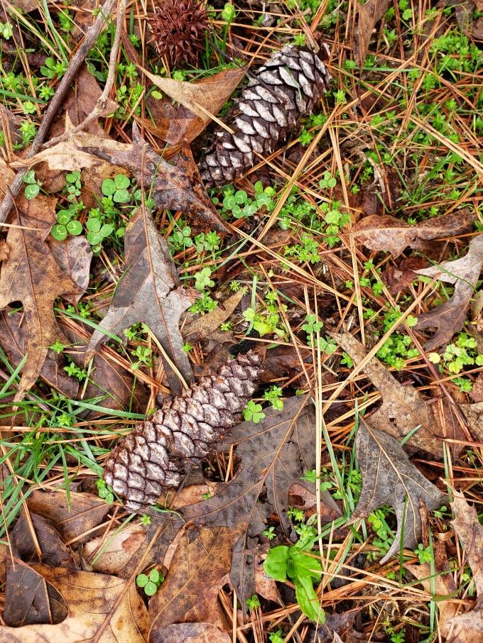 pine 1 cones