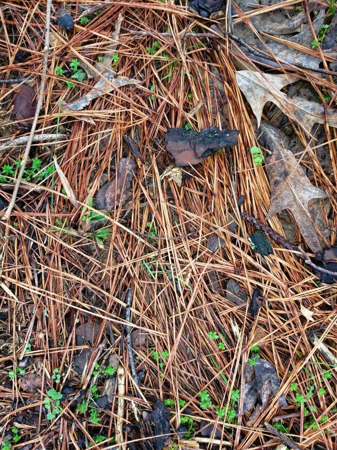 pine 1 needles