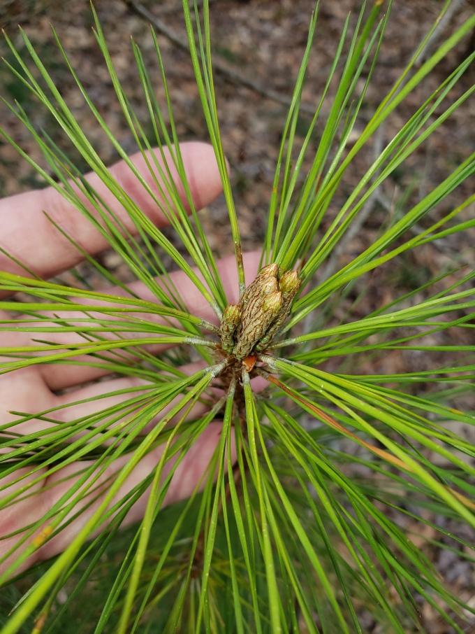 pine tree antheridia