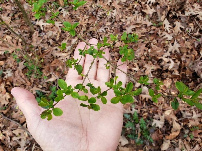 privet leaf