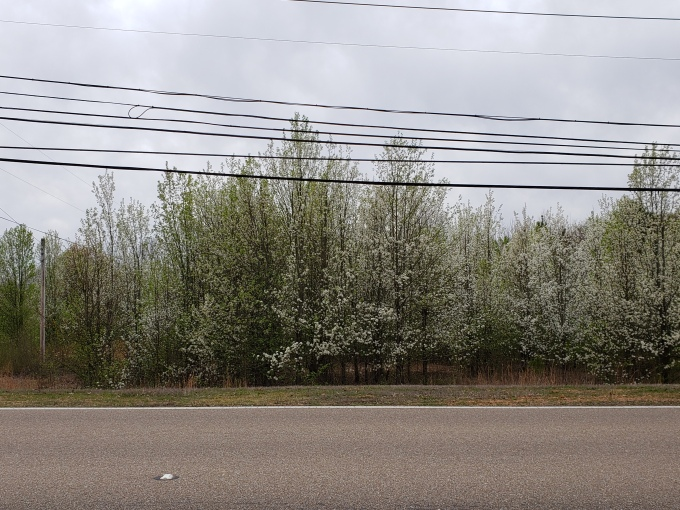 stand of bradford pear trees