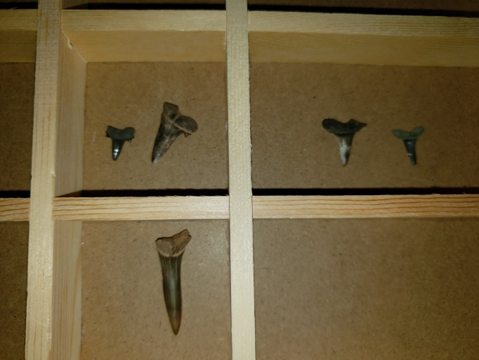 Fossil Shark teeth in showbox Frankstown MS Megalodon