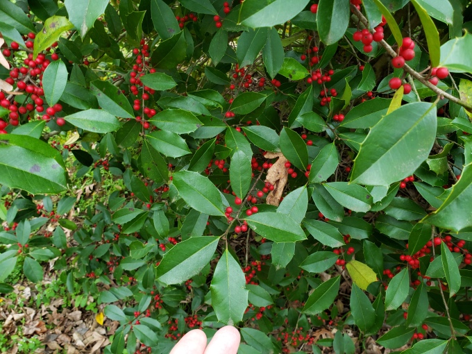 holly ilex berries and leaves