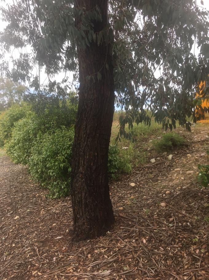 tree eucalyptus bark 2 San Diego CA