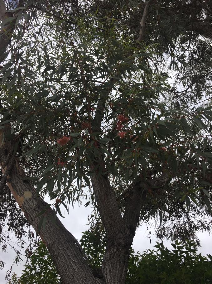 tree eucalyptus canopy 5 San Diego CA