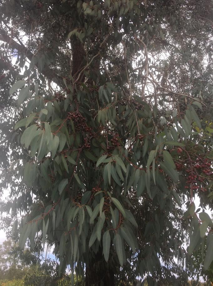 tree eucalyptus leaves 1 San Diego CA
