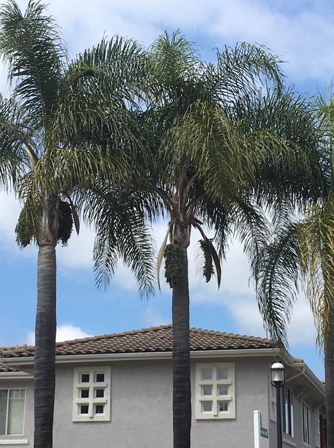 tree Foxtail palm fruit 2 San Diego CA
