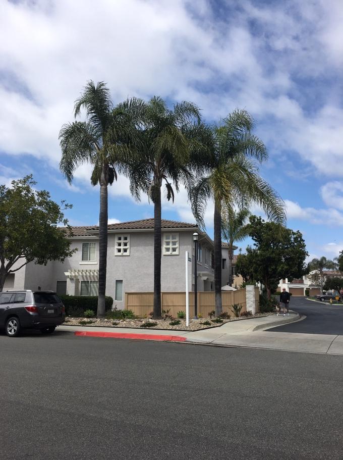 tree Foxtail palm habit 1 San Diego CA