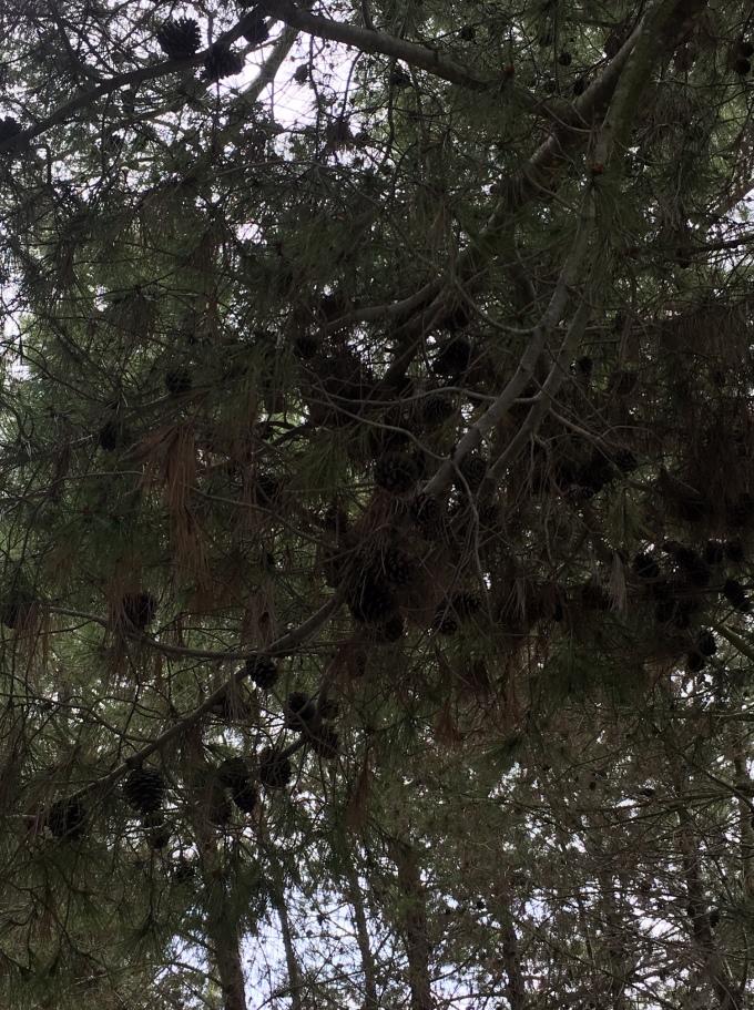 tree pine cones and needles 3 San Diego CA