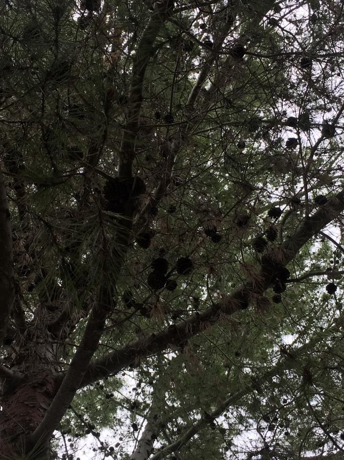 tree pine cones and needles 4 San Diego CA